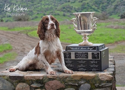 English Springer Spaniel Dawsonlee-Faithful Sam Jeff Miller Mayo Trophy