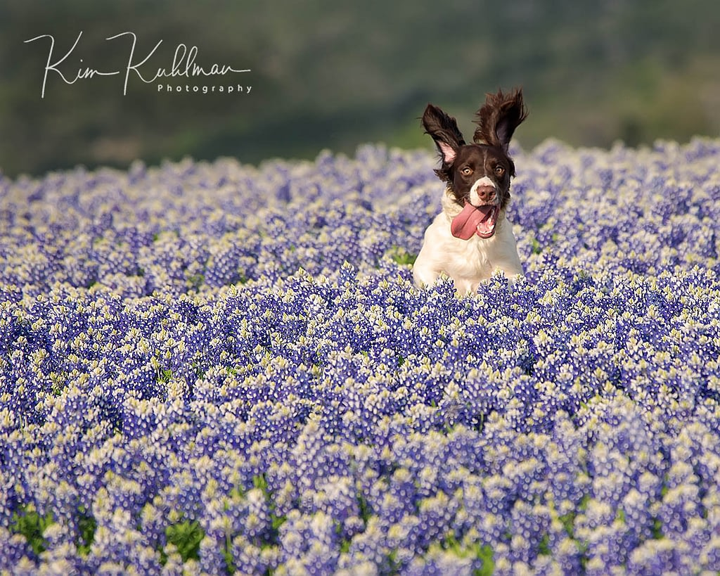 Strike - English Springer Spaniel Texas Bluebonnets at Muleshoe Bend Texas