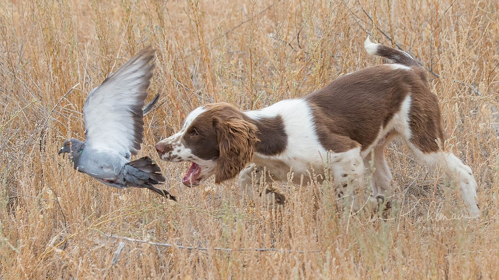 english springer spaniel liver white puppy flushing