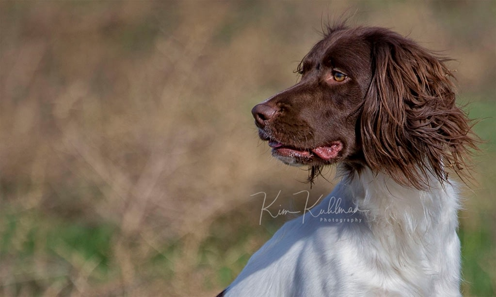 Liver and White English Springer Spaniel - Field Bred - Kai