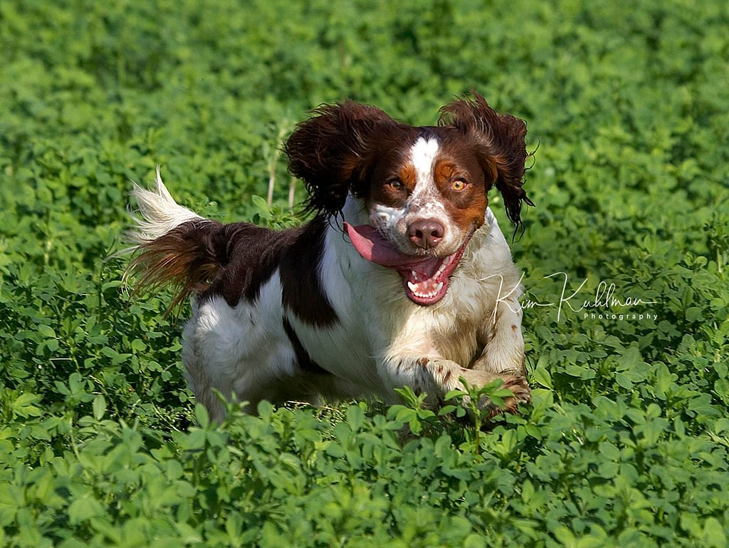 Tri-color Field-bred English Springer Spaniel Training for a Field Trial at Prado in California