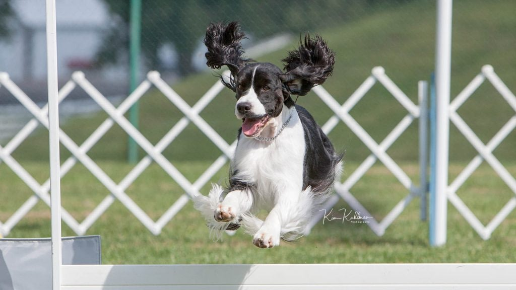 Black & White English Springer Spaniel Jumping Gate in Rally ©2009 Kim Kuhlman Photography