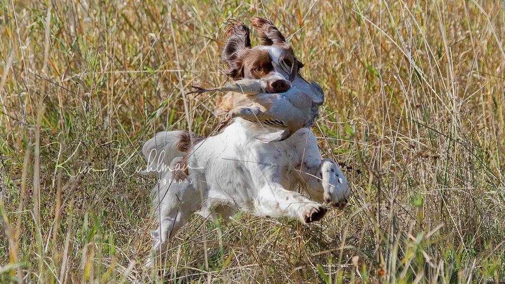 Field-bred Liver & White English Springer Spaniel Retrieving Chukar ©2010 Kim Kuhlman Photography