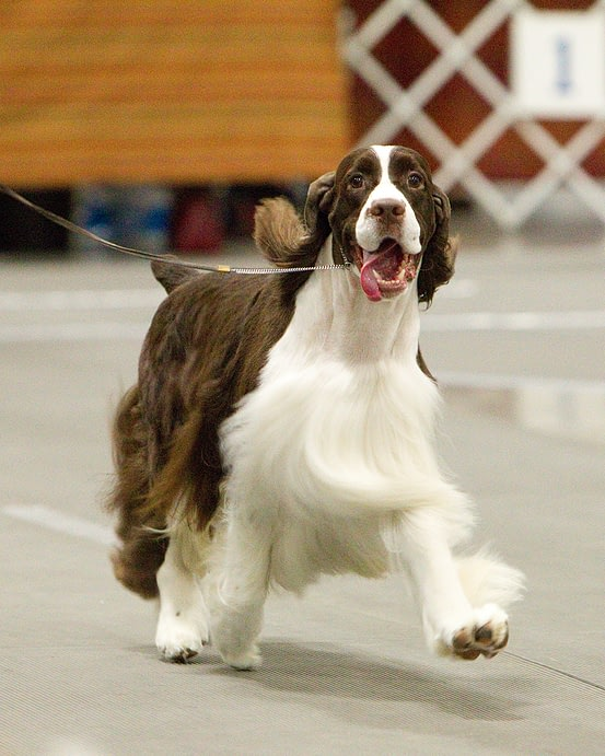 2010 ESS National Specialty Champion BIS BISS GCh. Cerise Jesse James