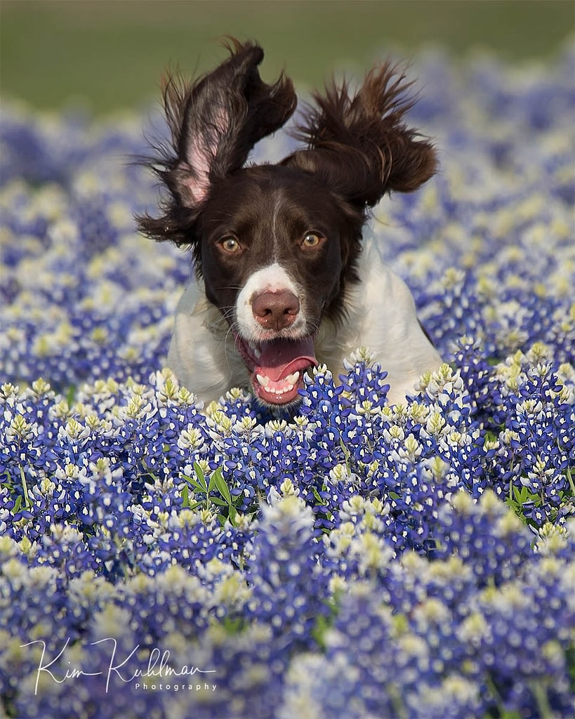 Strike - Liver and White Field-bred English Springer Spaniel Texas Bluebonnets at Muleshoe Bend Texas
